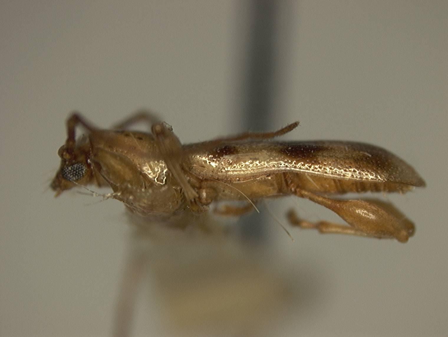 Image of <i>Plectromerus ornatus</i> Fisher 1947