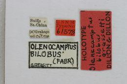 Image of <i>Olenecamptus bilobus gressitti</i> Dillon & Dillon 1948