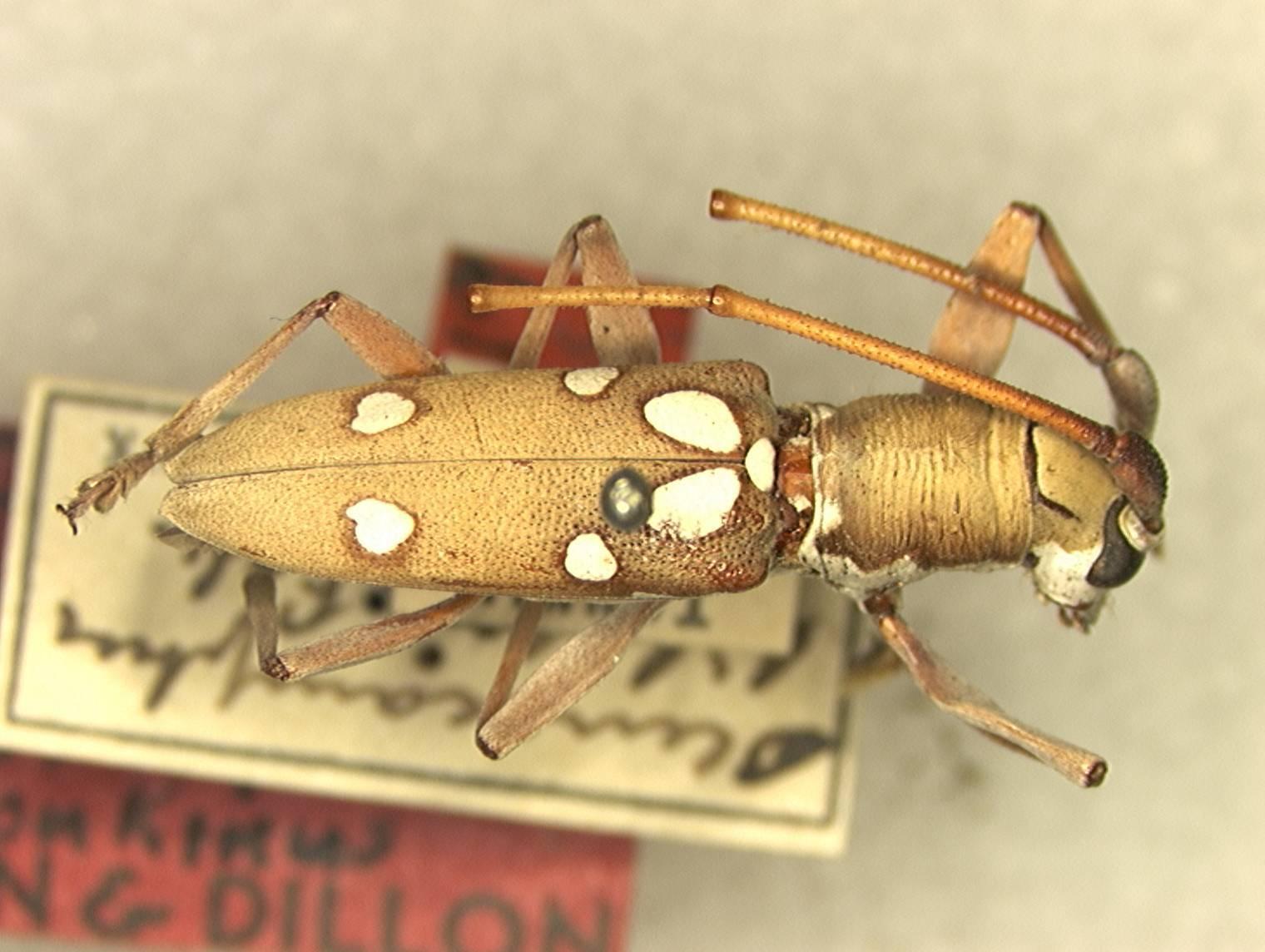 Image of <i>Olenecamptus bilobus tonkinus</i> Dillon & Dillon 1948