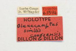 Image of <i>Olenecamptus similis</i> Dillon & Dillon 1948