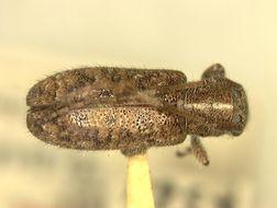 Image of <i>Eupogonius haitiensis</i> Fisher 1935