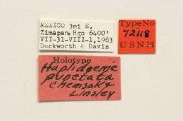 Image of <i>Haplidoeme punctata</i> Chemsak & Linsley 1971