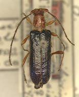 Image of <i>Acanthoibidion chevrolatii</i> (White 1855)