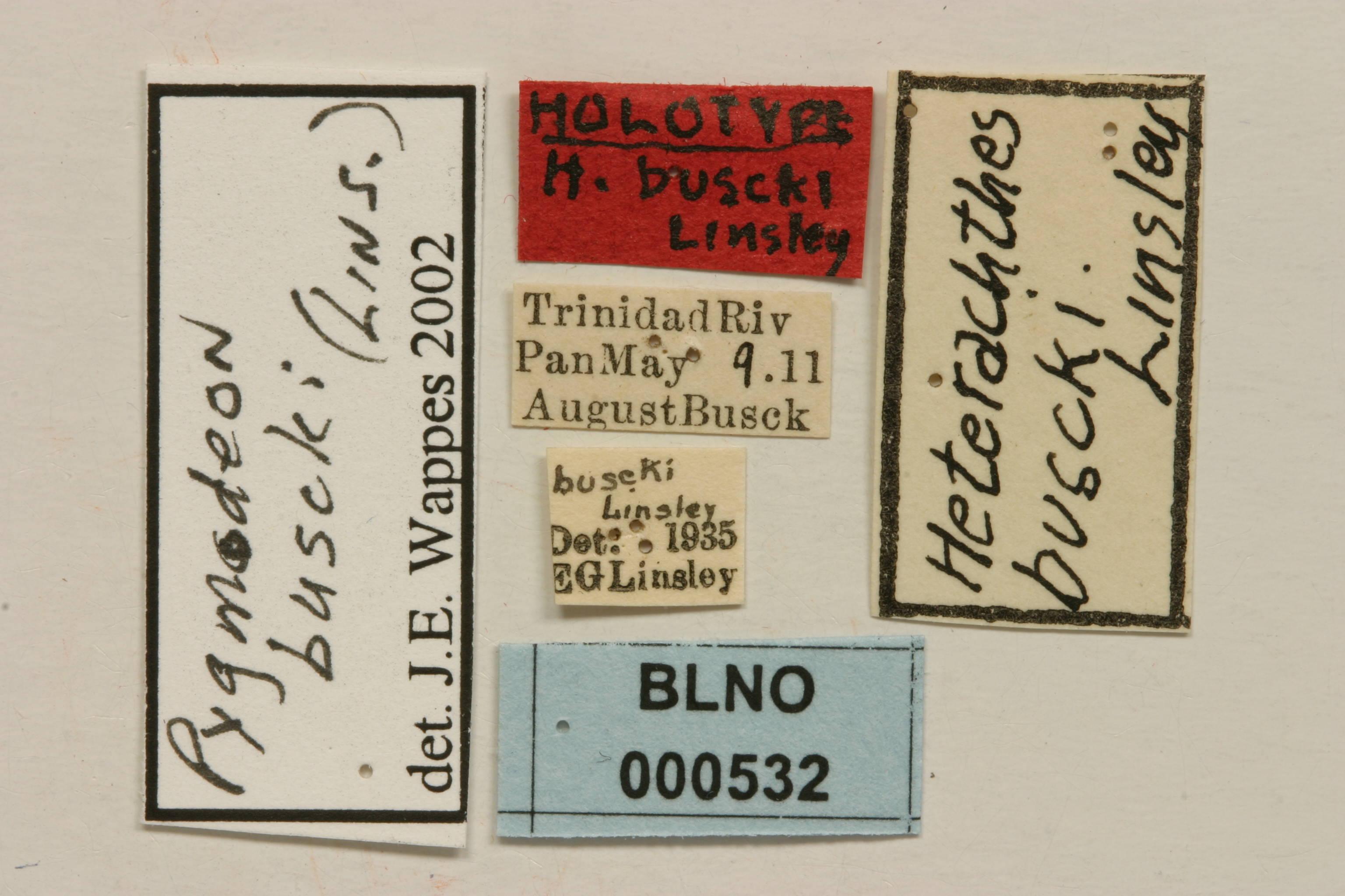 Image of <i>Pygmodeon buscki</i> (Linsley 1935)