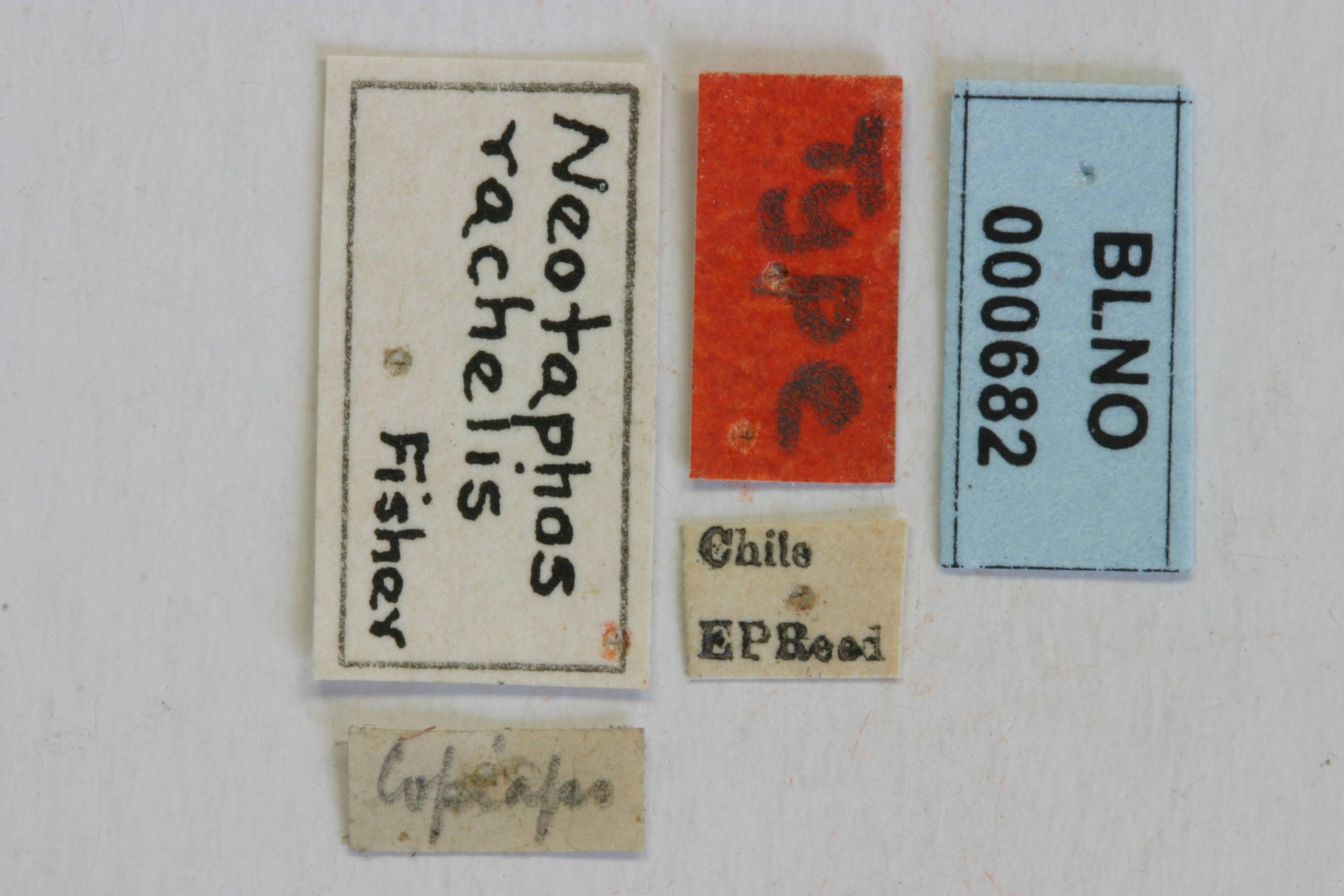 Image of <i>Neotaphos rachelis</i> Fisher 1937