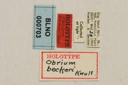 Image of <i>Obrium beckeri</i> Knull 1962
