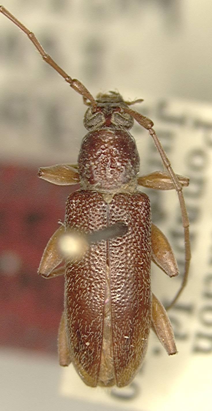 Image of <i>Ceresium adamsi</i> Gressitt 1956