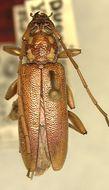 Image of <i>Ceresium guttaticolle</i> ssp. <i>yapense</i> Gressitt