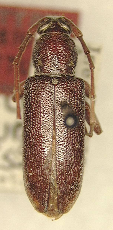 Image of <i>Ceresium robustum</i> Gressitt 1956