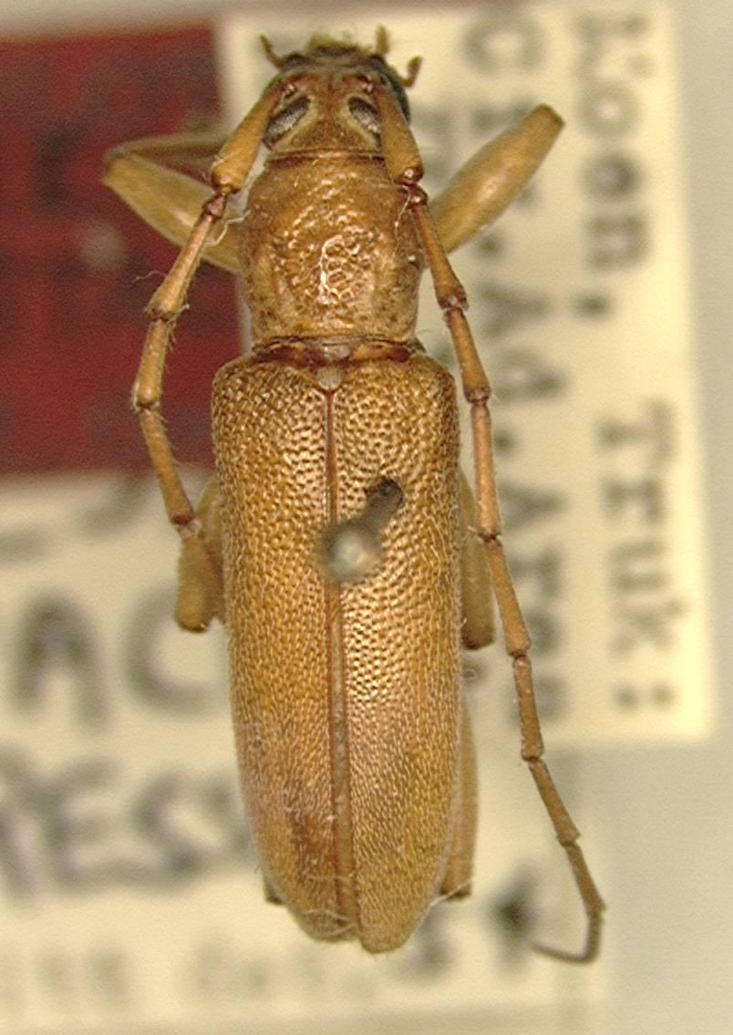 Image of <i>Ceresium testaceum</i> Gressitt 1956