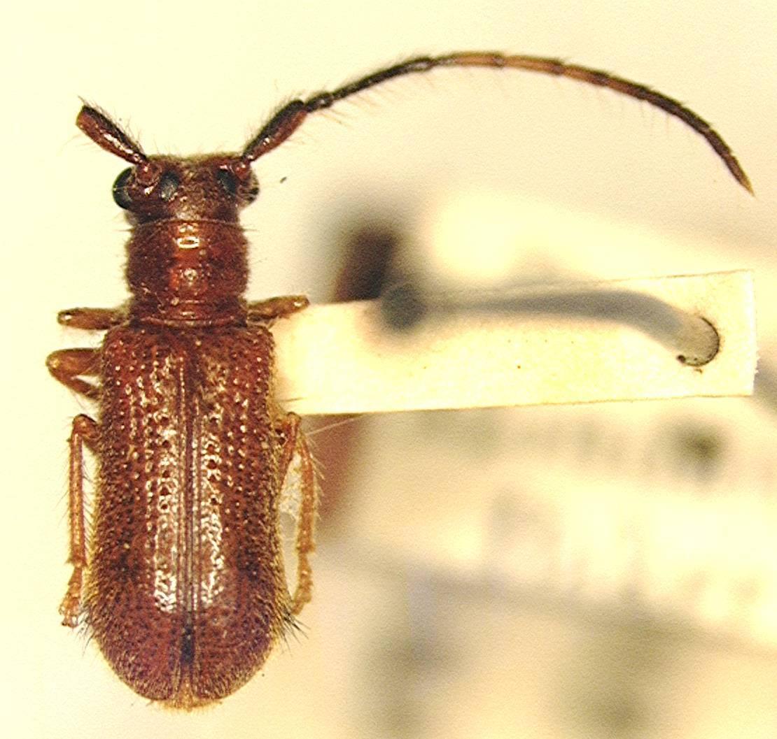 Image of Bacchisa