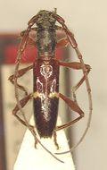 Image of <i>Compsibidion carenatum</i> Martins 1969