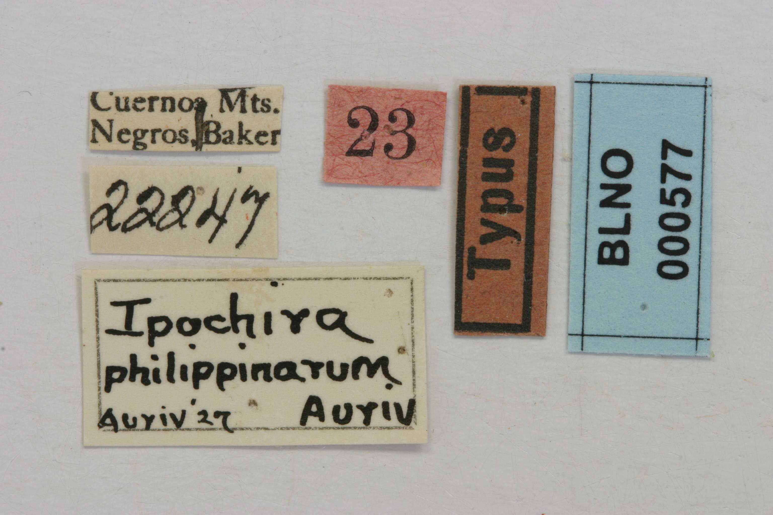 Image of <i>Ipochira philippinarum</i> Aurivillius 1927