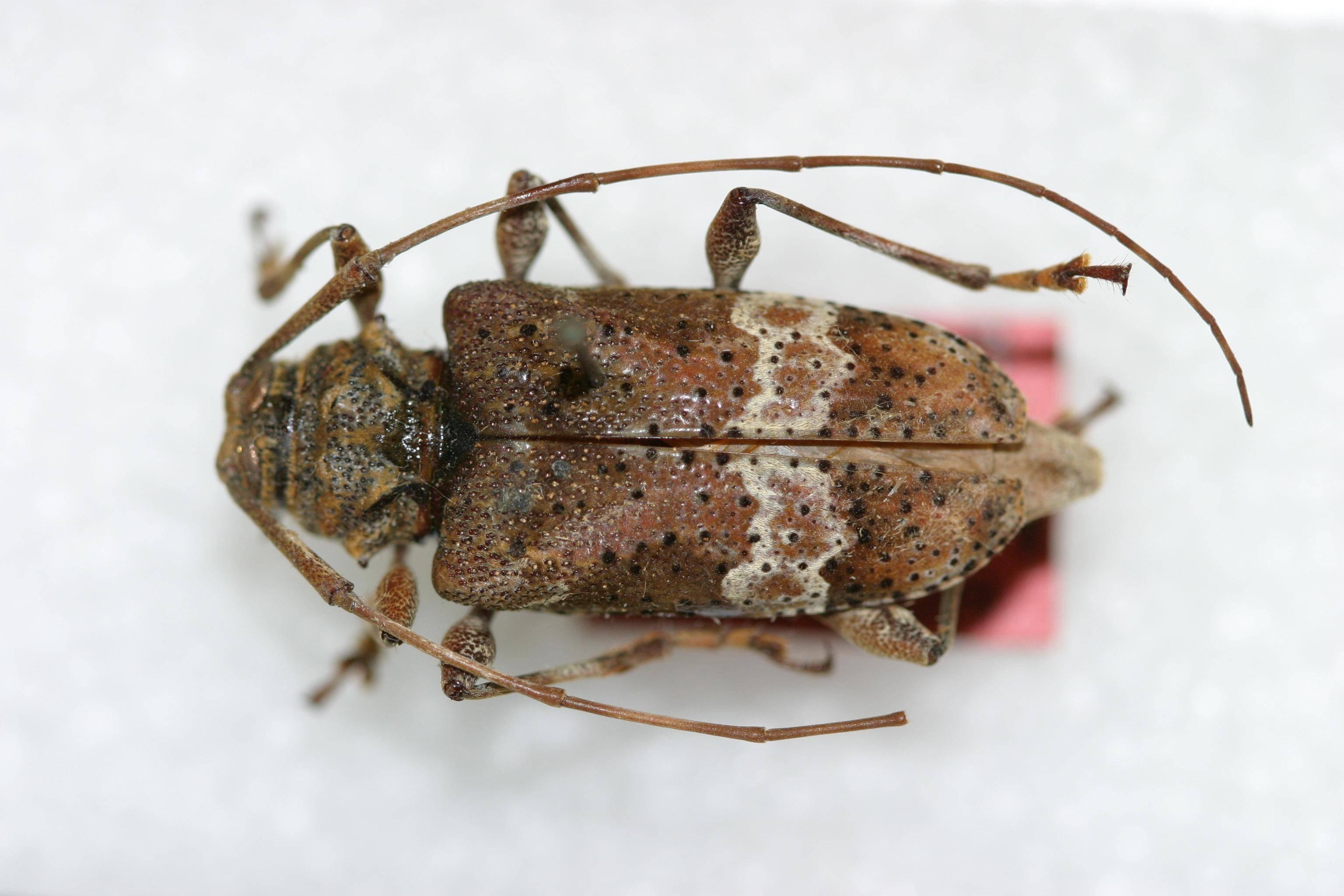 Image of <i>Lagocheirus foveolatus</i> Dillon 1957