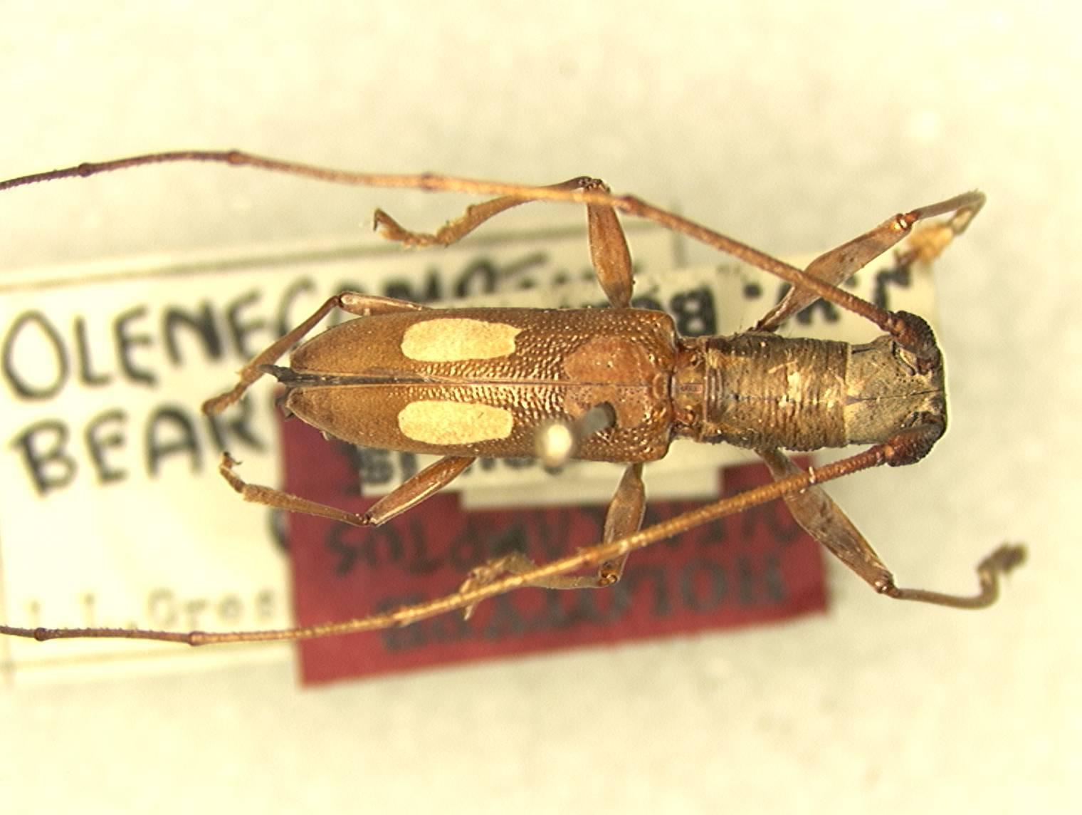 Image of <i>Olenecamptus beardsleyi</i> Gressitt 1956