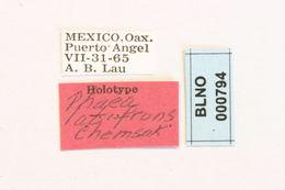 Image of <i>Phaea hogei</i> Bates 1881