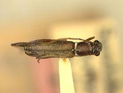Image of <i>Psilomerus simplex</i> Aurivillius 1924