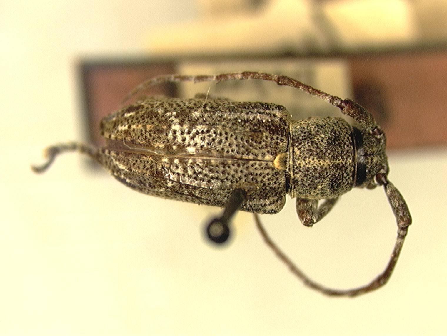 Image of <i>Pterolophia curvatocostata</i> Aurivillius 1927