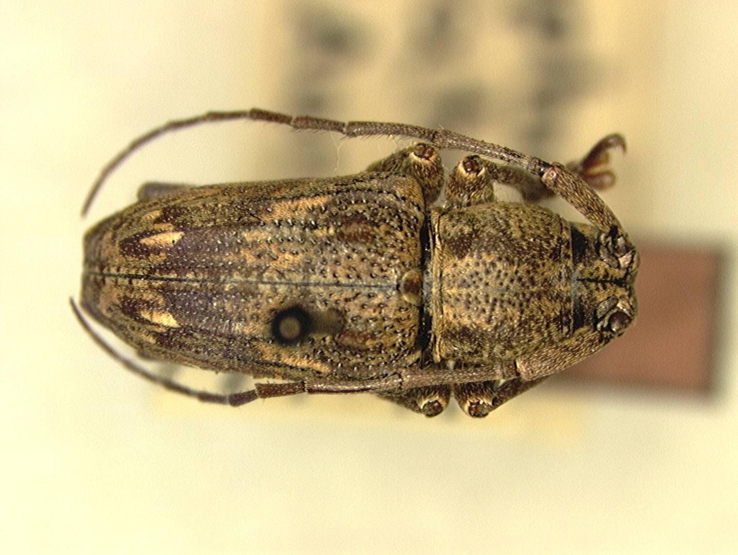Image of <i>Pterolophia</i> (<i>Hylobrotus</i>) <i>devittata</i> Aurivillius 1927