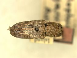 Image of <i>Pterolophia sibuyana</i> Aurivillius 1927