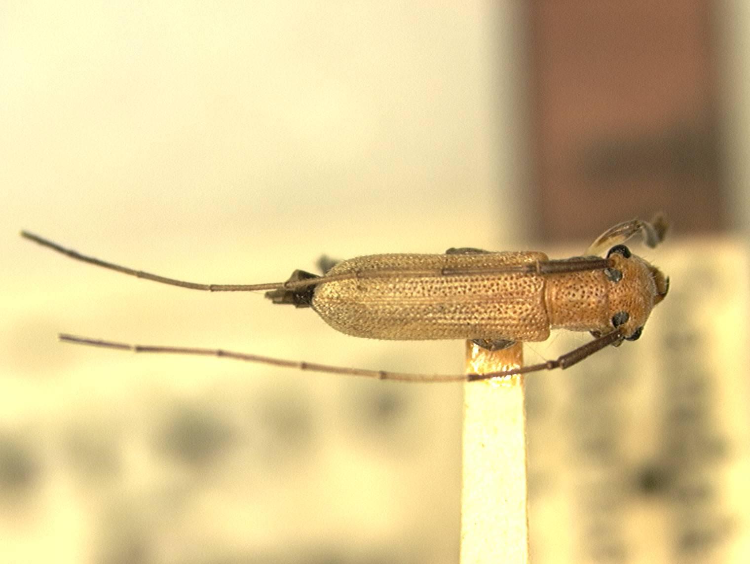 Image of <i>Serixia albofemorata</i> Aurivillius 1927