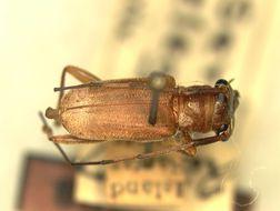 Image of <i>Serixia elegans</i> Aurivillius 1927