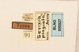Image of <i>Serixia plagiata</i> Aurivillius 1927