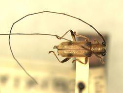 Image of <i>Serixia quadriplagata</i> Aurivillius