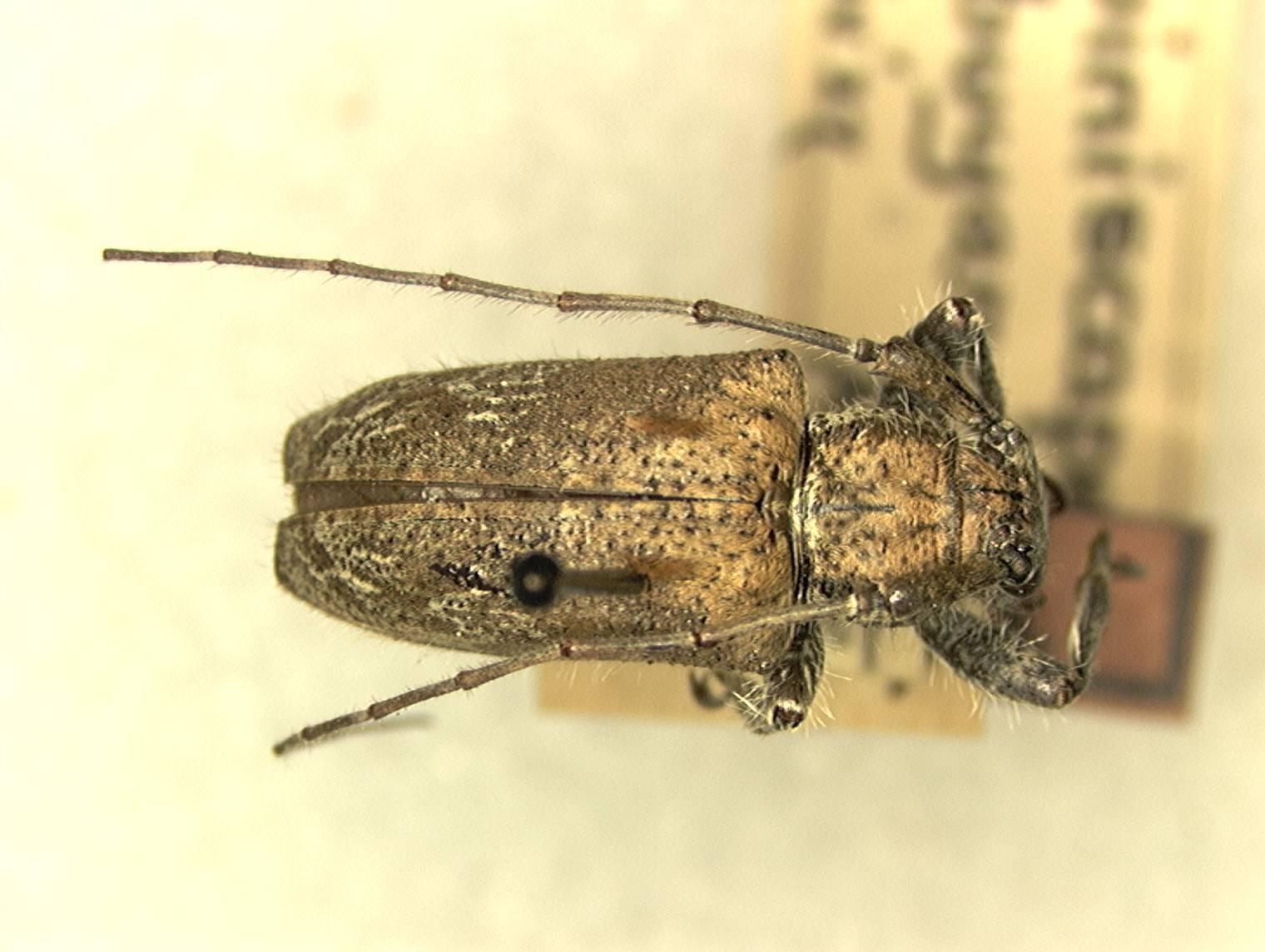 Image of <i>Dystasia sibuyana</i> (Aurivillius 1927)