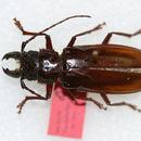 Image of <i>Nothopleurus madericus</i> (Skiles 1978)