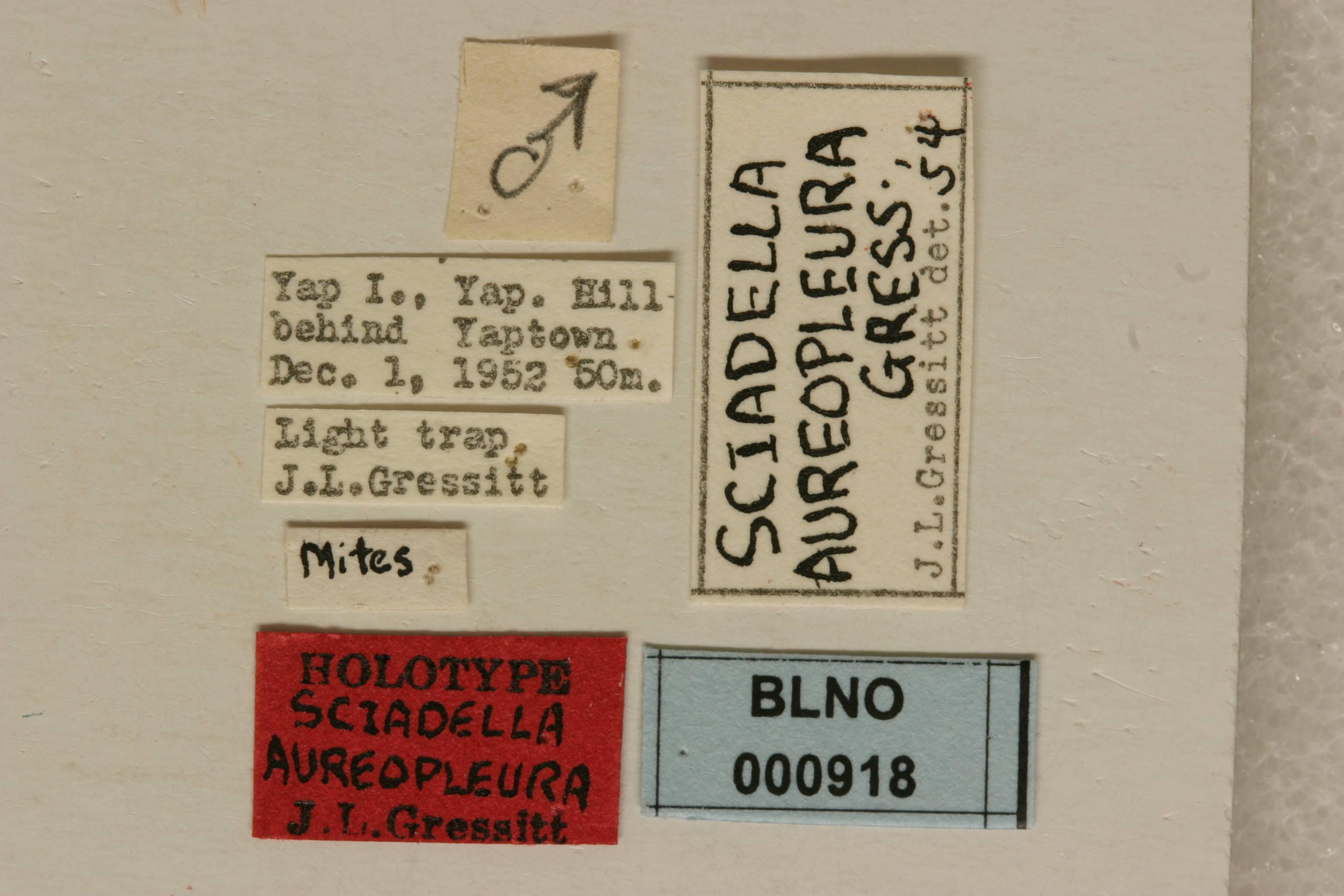 Image of Phloeopsis Blanchard 1853
