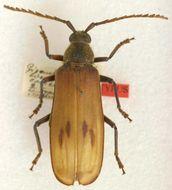 Image of <i>Gigantotrichoderes conicicollis</i> Tippmann 1953