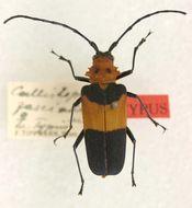 Image of <i>Callistoprionus fasciatus</i> Tippmann 1953