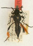 Image of <i>Acyphoderes rubrohirsutotibialis</i> Tippmann 1953