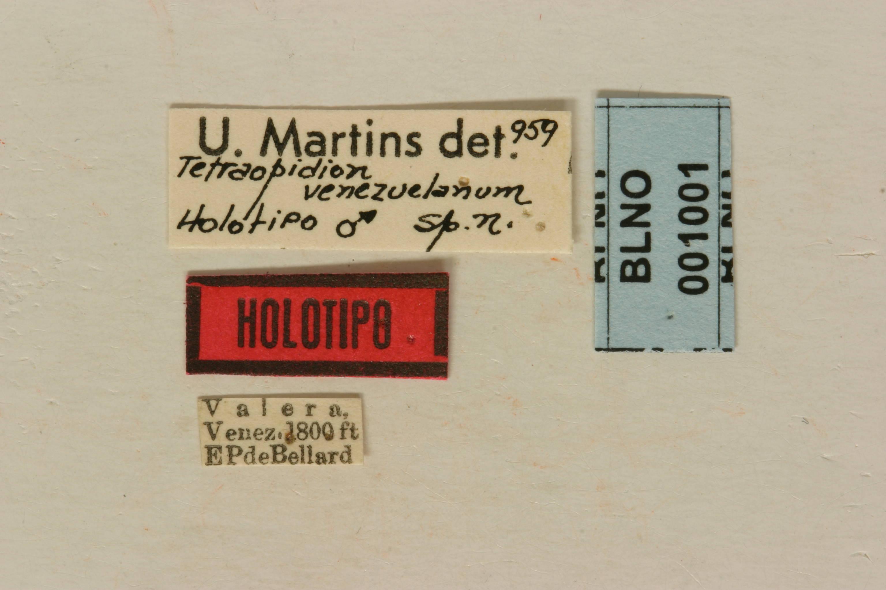 Image of <i>Tetraopidion venezuelanum</i> Martins 1960