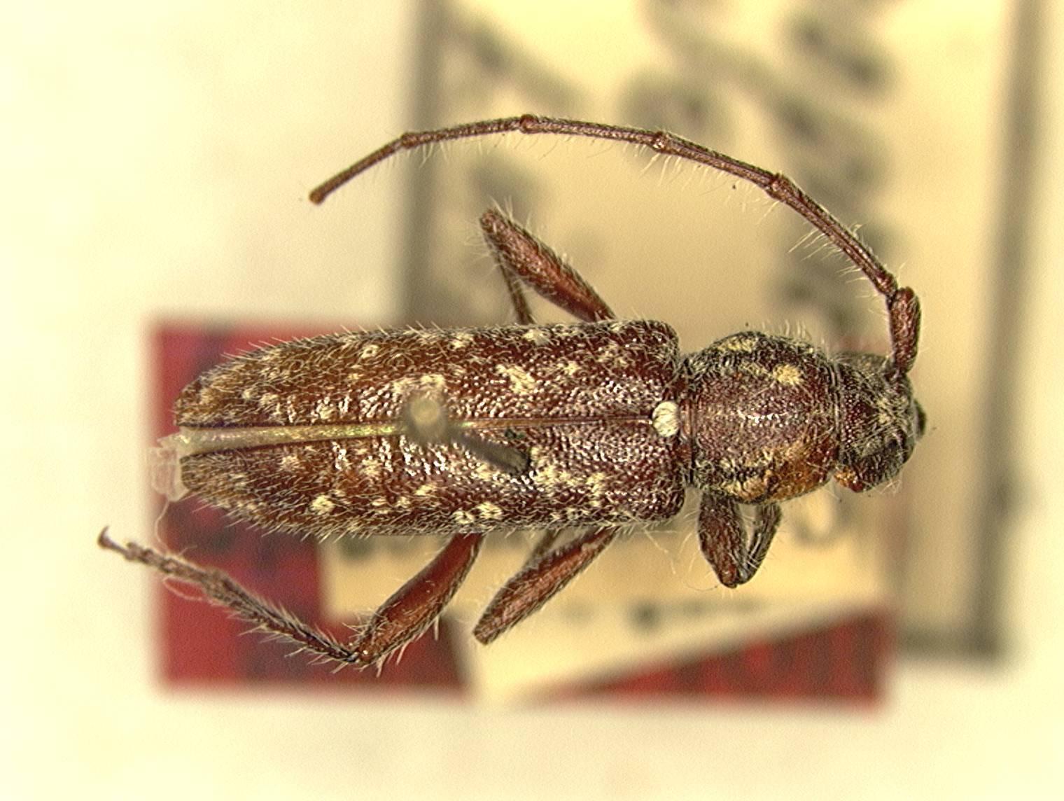 Image of <i>Trichophoroides niveus</i> Linsley 1935