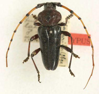 Image of <i>Andraegoidus laticollis</i> Tippmann 1953
