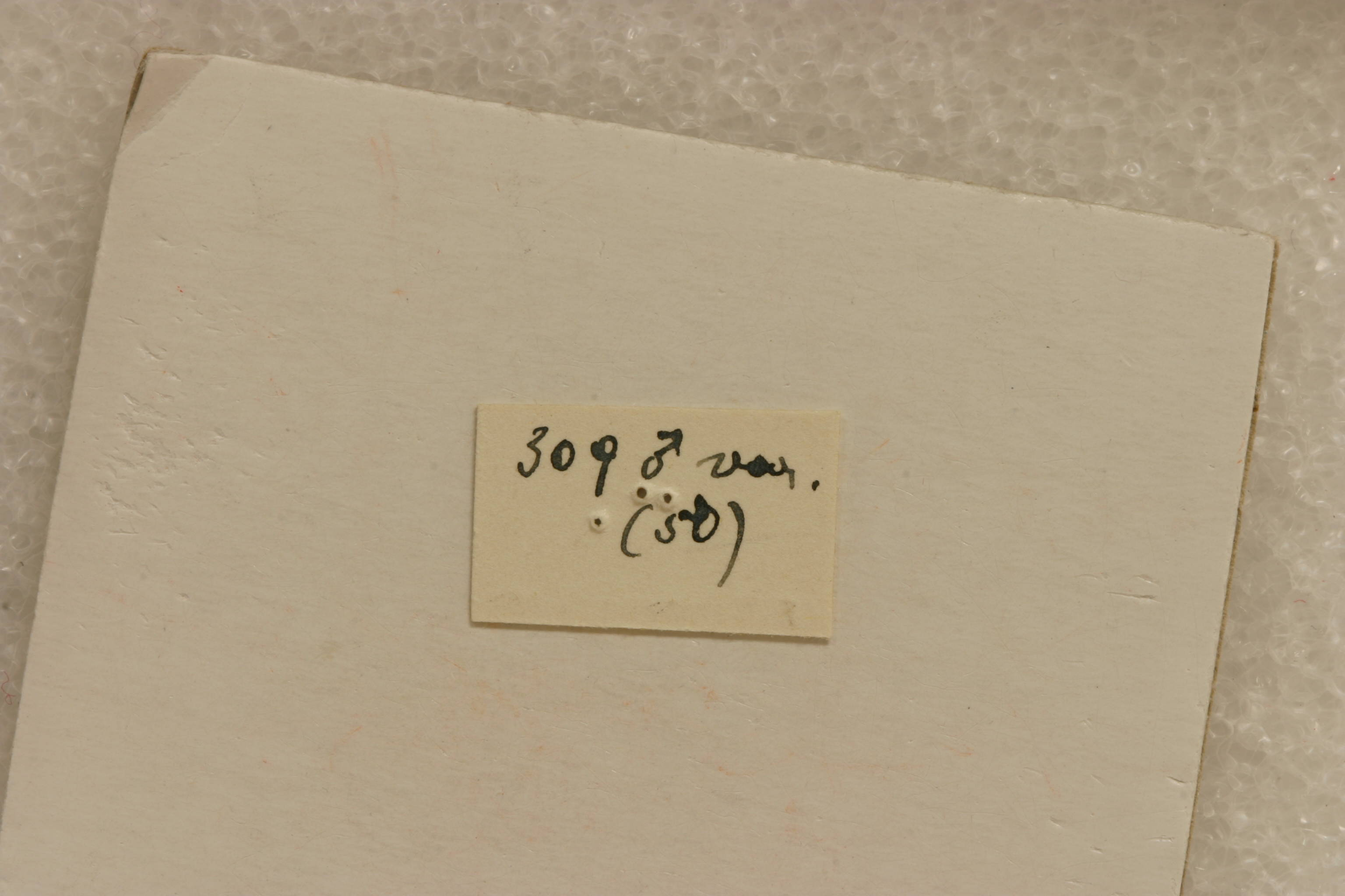 Image of <i>Andraegoidus variegatus</i> (Perty 1832)