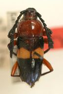Image of <i>Lissonotus zellibori</i> Tippmann 1953