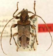 Image of <i>Oreodera olivaceotincta</i> Tippmann 1953