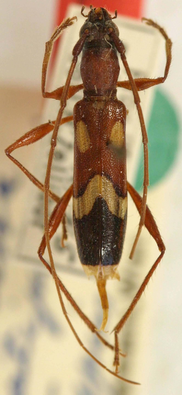Image of <i>Ectenessa ornatipennis</i> Tippmann 1960