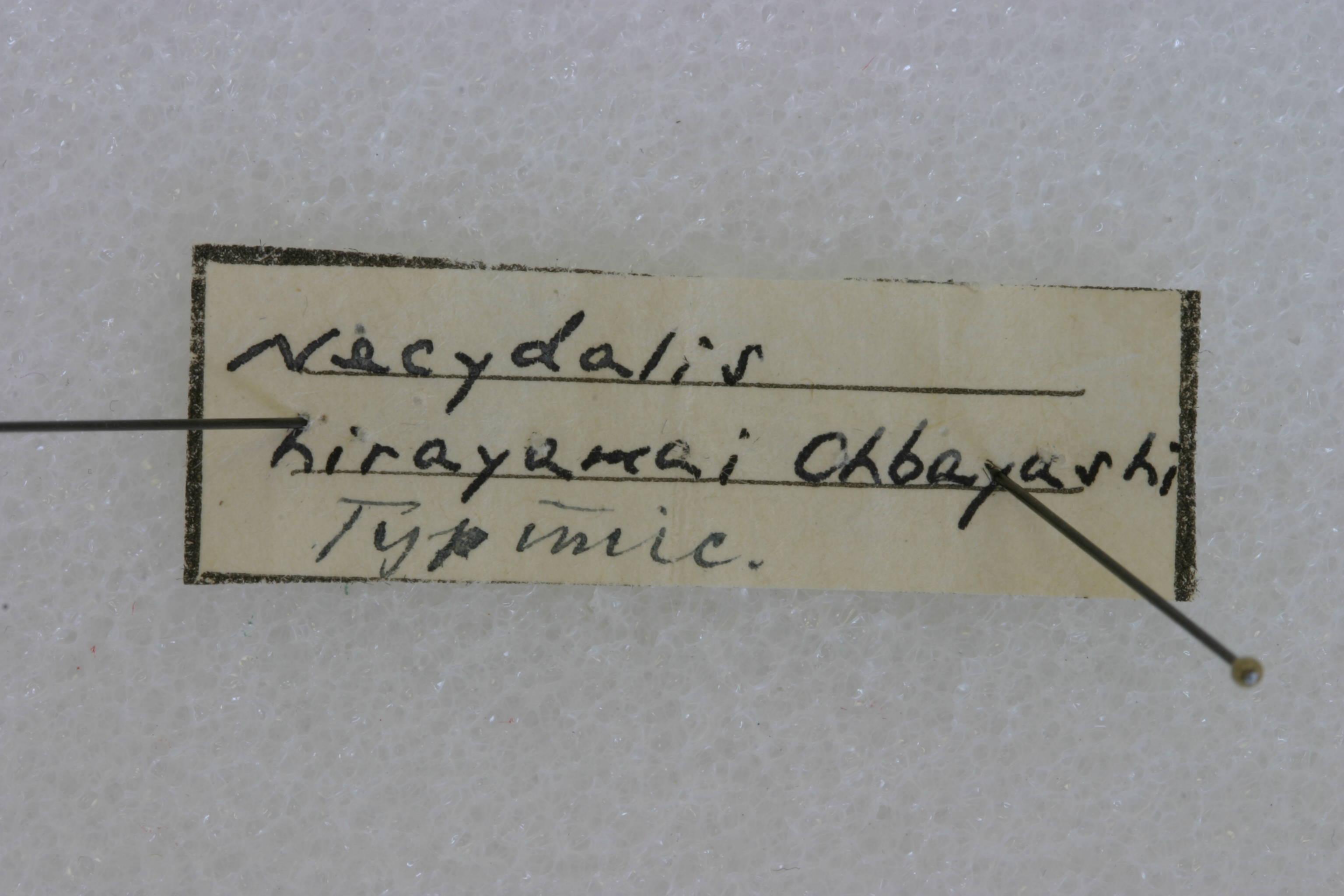 Image of <i>Necydalis hirayamai</i> Ohbayashi 1948