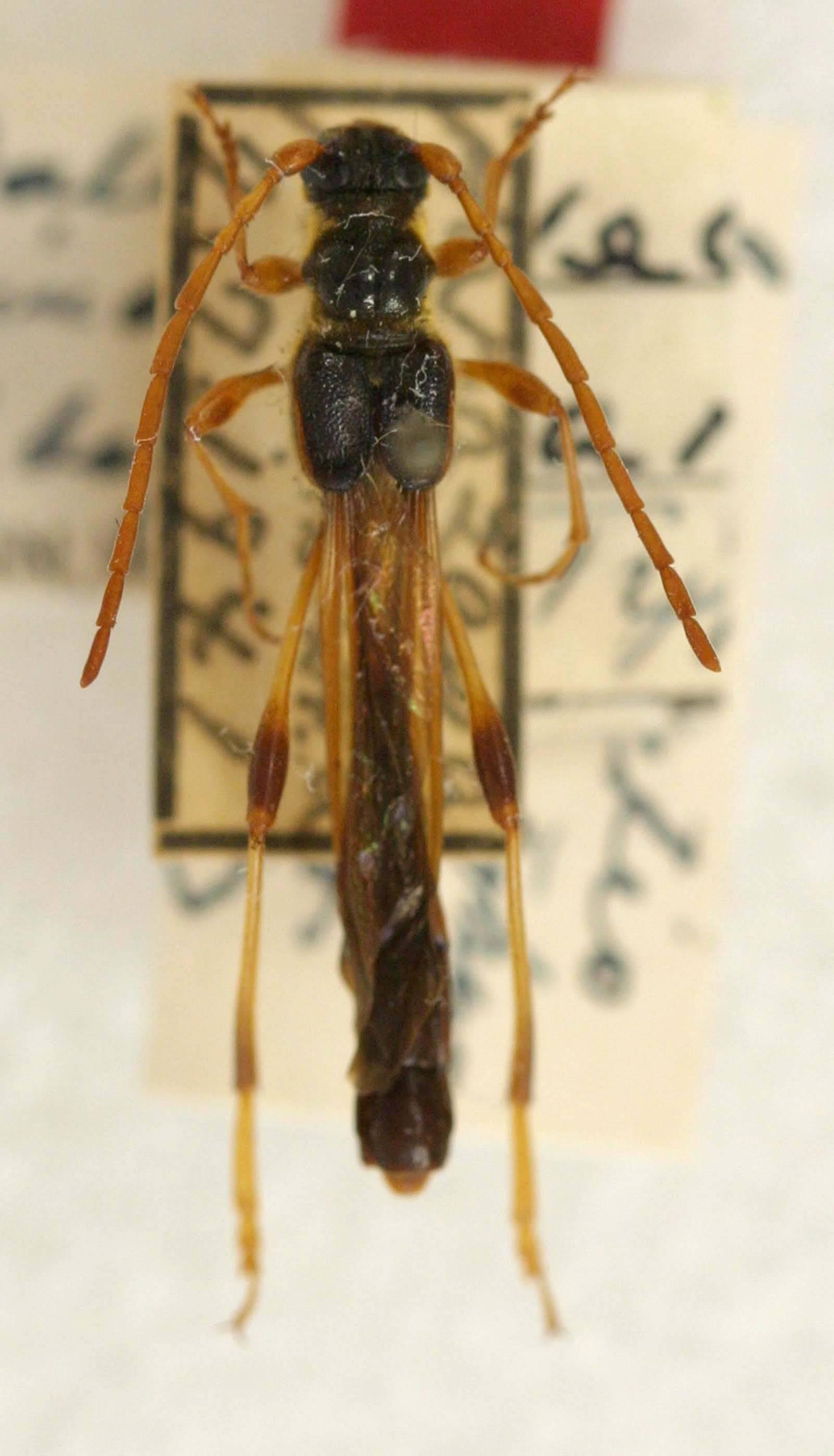 Image of <i>Necydalis marginalis</i> Ohbayashi 1948