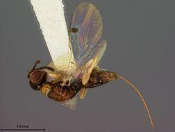 Image of <i>Megastigmus brachyscelidis</i> Ashmead 1900