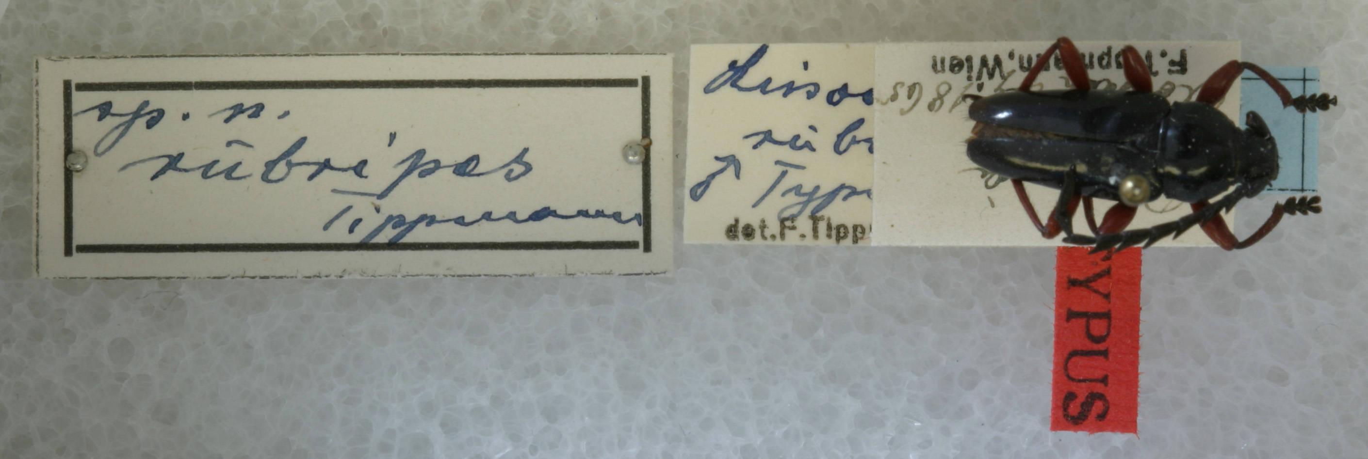 Image of <i>Lissonotus rubripes</i> Tippmann 1960