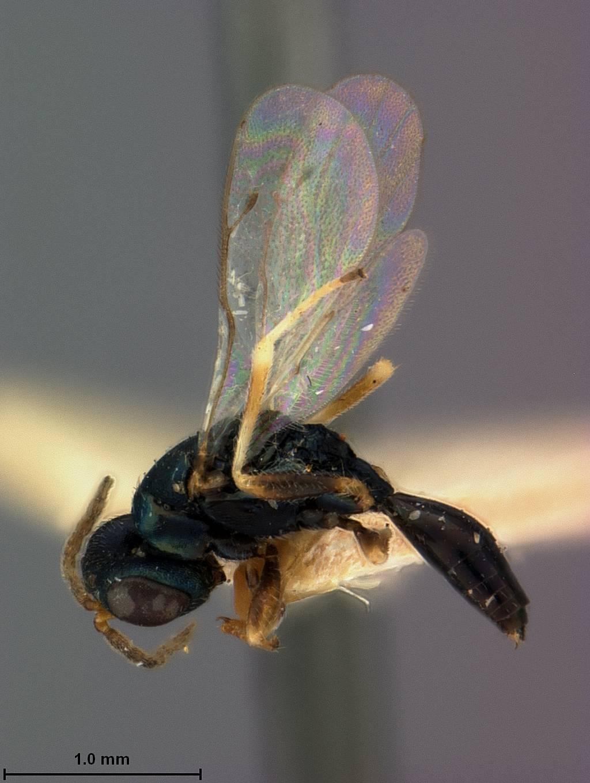 Image of <i>Acroclisis brasiliensis</i> Ashmead 1904