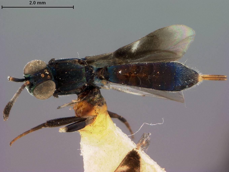 Image of <i>Macreuplemus brasiliensis</i> Ashmead