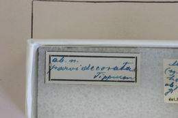 Image of <i>Megacyllene horioni</i> Tippmann 1960