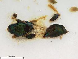 Image of <i>Plesiostigmodus brasiliensis</i> Ashmead