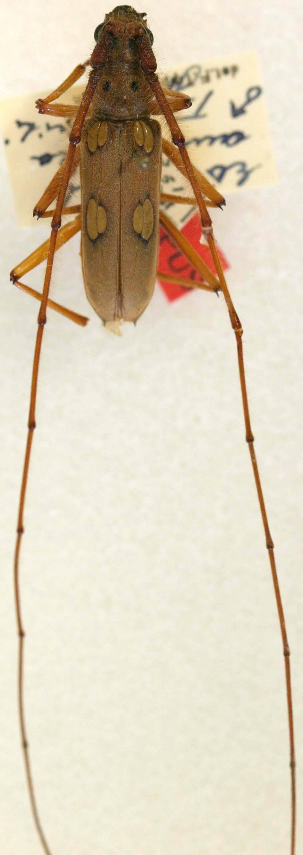 Image of <i>Eburostola amazonica</i> (Tippmann 1960)